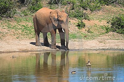 Elephant by watering hole