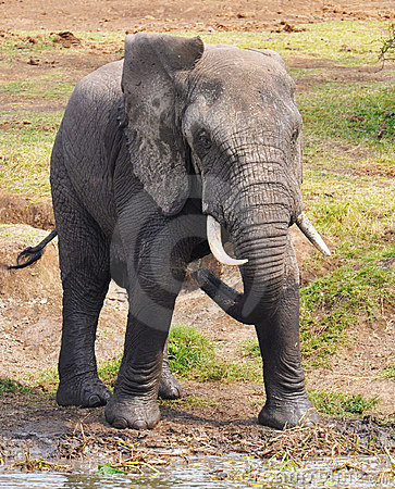 Elephant with wet feet