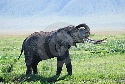 Elephant in wilderness