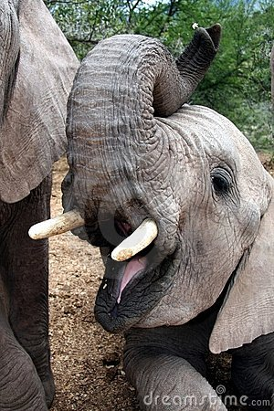 Free Elephant With Open Mouth Royalty Free Stock Photo - 6518765