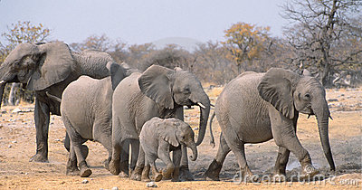 Elephants Royalty Free Stock Images - Image: 6438679
