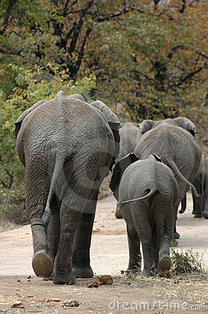 Elephants behinds