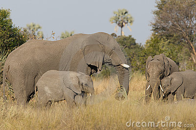 Elephants and calves