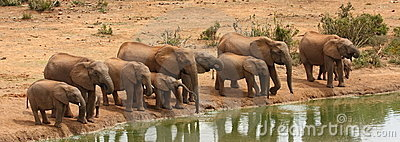 Elephants drinking.