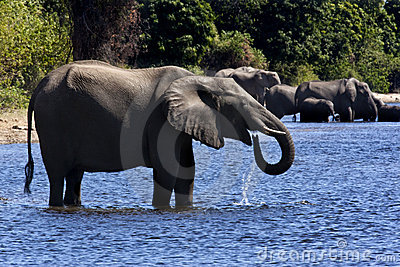 Elephants drinking - Botswana