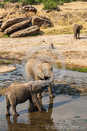 Elephants drinking and playing in water pool