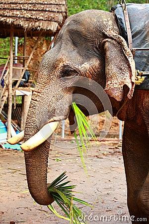 Elephants eating sugar cane