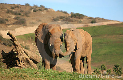Elephants feeding each other