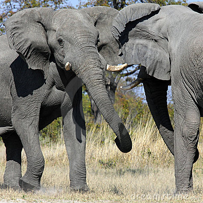 Elephants fighting - Savuti - Botswana