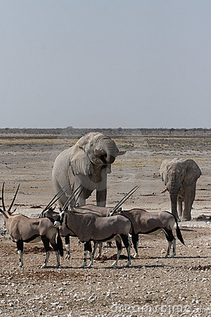 Elephants and Gemsbok