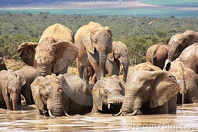 Elephants getting wet and muddy