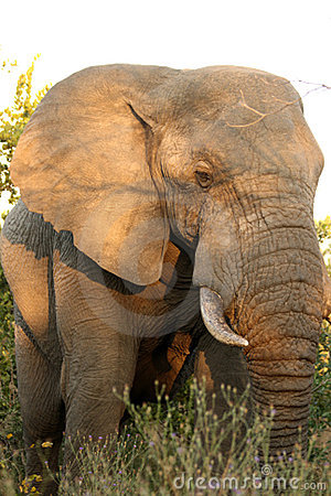 Free Elephants In The Sabi Sands Private Game Reserve Royalty Free Stock Photos - 9424568