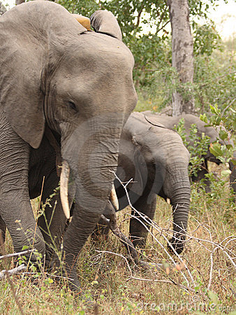 Free Elephants In The Sabi Sands Private Game Reserve Royalty Free Stock Images - 9424629
