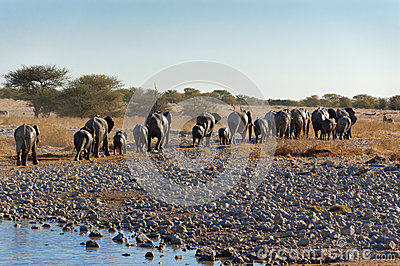 Elephants leaving waterhole