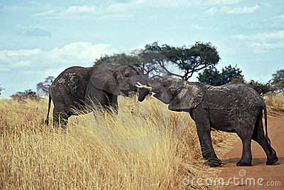 Elephants in Love,Tarangire NP,Tanzania
