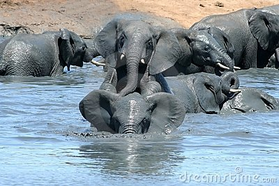 Elephants playing in muddy water