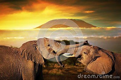 Elephants playing on savanna. Mount Kilimanjaro