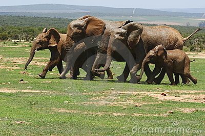 Elephants running