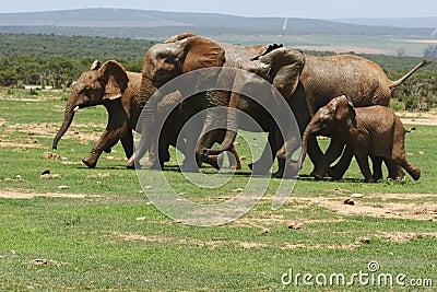 Elephants running
