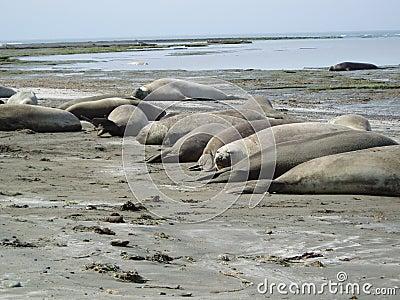 Elephants seal