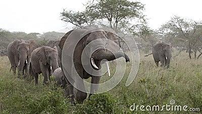 Elephants at the Serengeti National Park