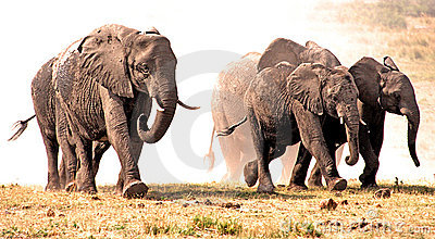 Elephants stampede in the dust.