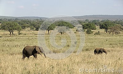 Elephants in Tangire National Park