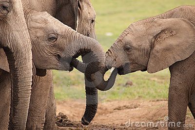Elephants thirst quenching