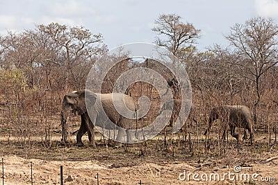 Elephants walking  Between the bushes