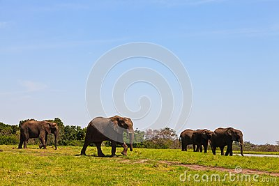 Elephants walking  Between the bushes
