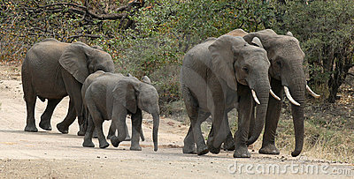 Elephants walking on dirt road