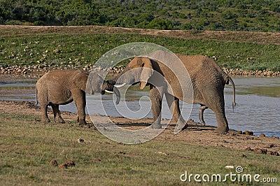 Elephants by the water-lock