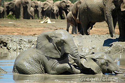 Elephants in watering hole