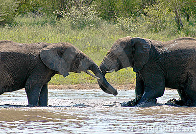 Elephants wrestling