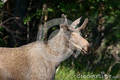 Elk (Alces alces).