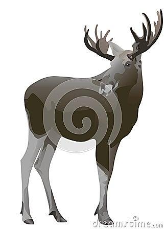 Elk Alces alces