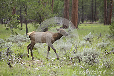 Elk Calf in Meadow