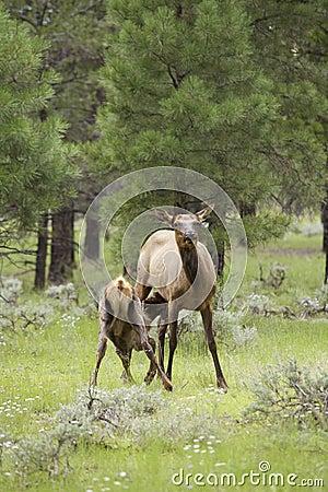 Elk Calf Nursing in Meadow