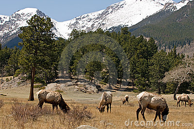 Elk in Colorado mountains