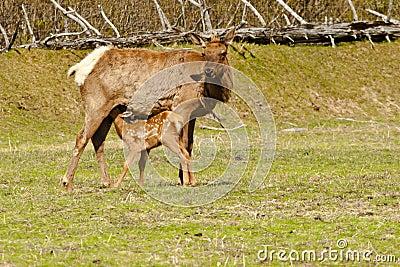 Elk Fawn Nuring