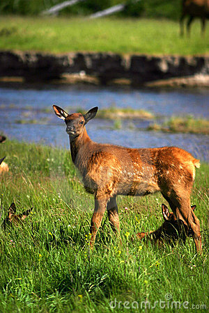 Elk fawn yellowstone
