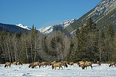 Elk in front of the Canadian Rockies