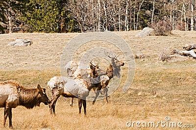 Elk grazing in woods