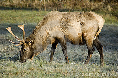 Elk, Great Smoky Mountains