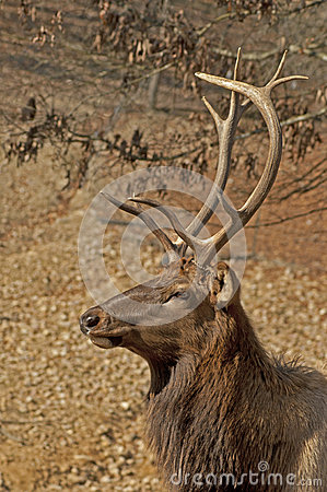 Elk head sporting large antlers.