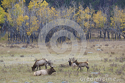 Elk Herd in Fall