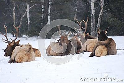 Elk herd in the snow