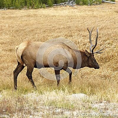 Free Elk In Yellowstone Royalty Free Stock Photos - 2051828
