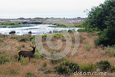 Elk looking at ocean