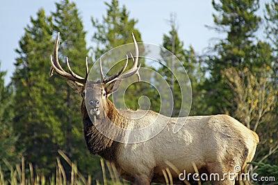 Elk_male1